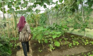 petik sayur lawang (2)