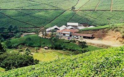 Perkebunan teh cipasung
