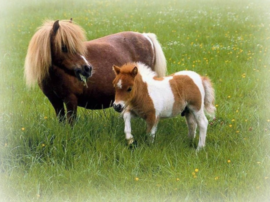 kuda poni asli lucu dan cantik